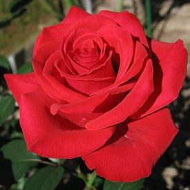 Немножко о розах или о том, как выстоять в период испытаний